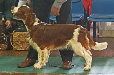 MAIDEN DOG: Glenbrows Picture Me Now. Welsh Springer Spaniel Club of South Wales Open Show 07-02-2016, held at Chepstow, Wales.