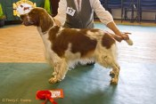 RBIS, BB, Open Bitch - Sh Ch Coedybrain Nia at Cwmbeili. Welsh Springer Spaniel Club of South Wales Open Show 16-09-2018, held at Earlswood, Shirenewton, Wales.