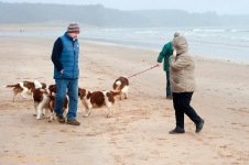 Welsh Springer Spaniel Club of South Wales annual Christmas walk at Oxwich Bay, Gower, Swansea